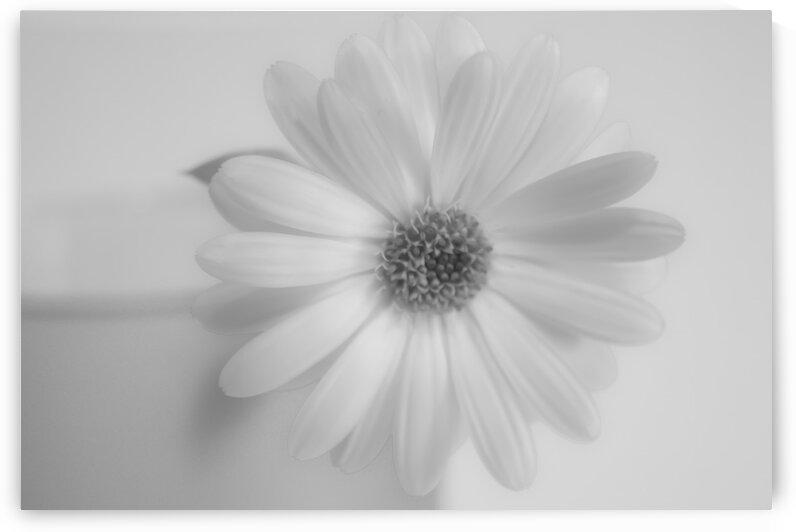 Daisy I Black and White by Joan Han