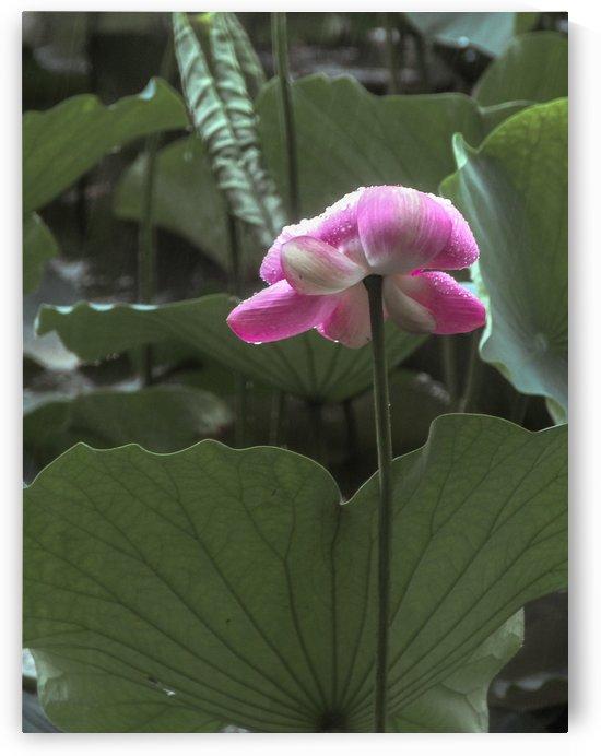 Lotus by Bowen Chen