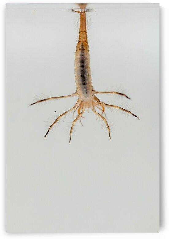predatory diving beetles by Marcel Derweduwen