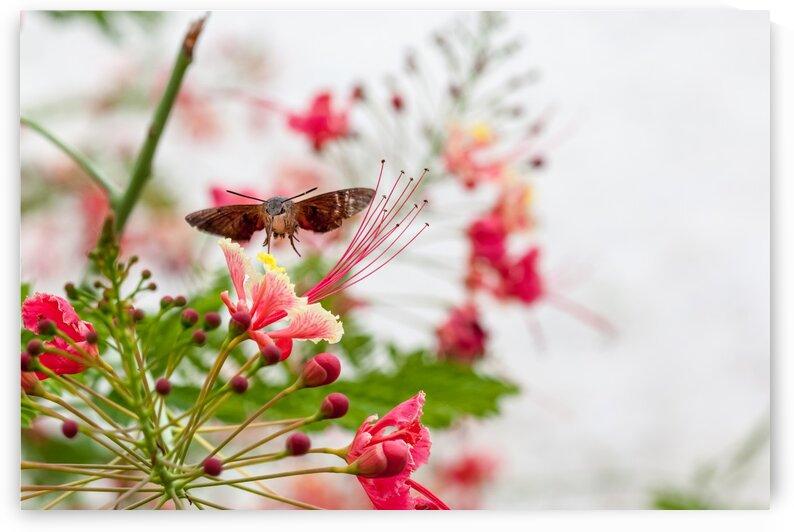 hummingbird hawk moth by Marcel Derweduwen