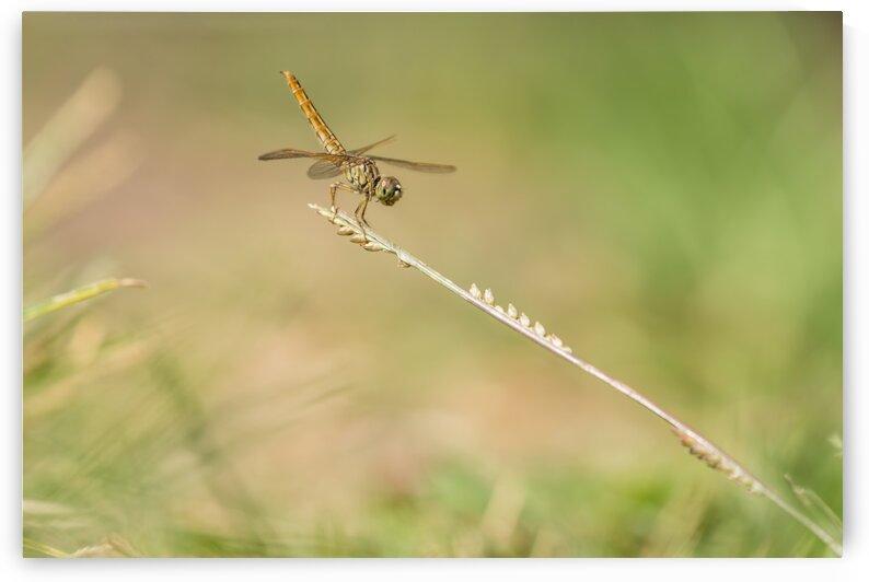 dragonfly in close up by Marcel Derweduwen