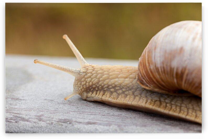 An beautiful snail by Marcel Derweduwen