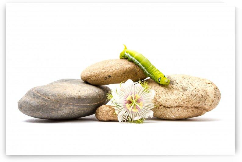 Sweet granadilla flower and an Daphnis Nerii by Marcel Derweduwen