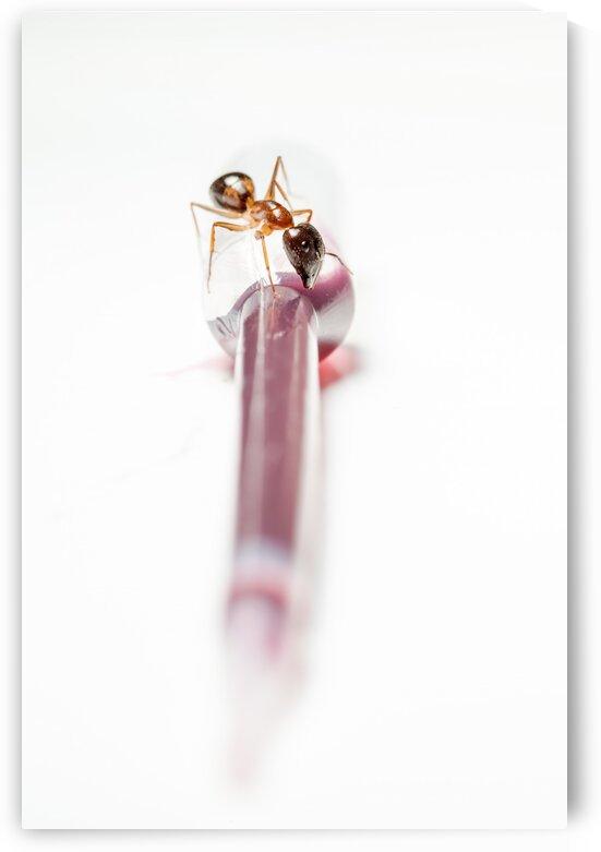 ant on an pipette by Marcel Derweduwen