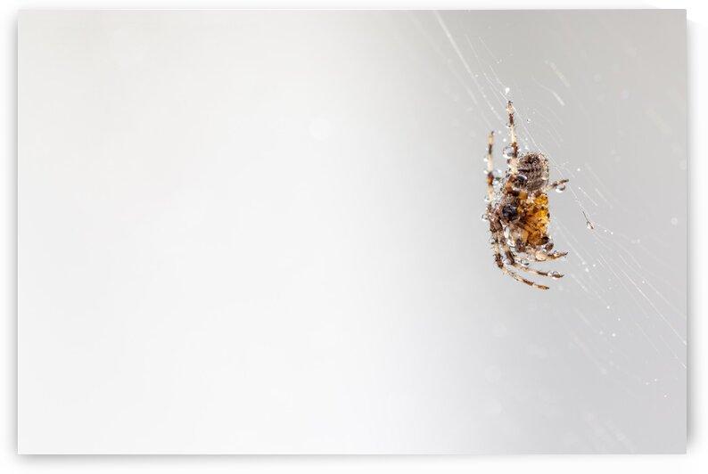 An spider in the web by Marcel Derweduwen