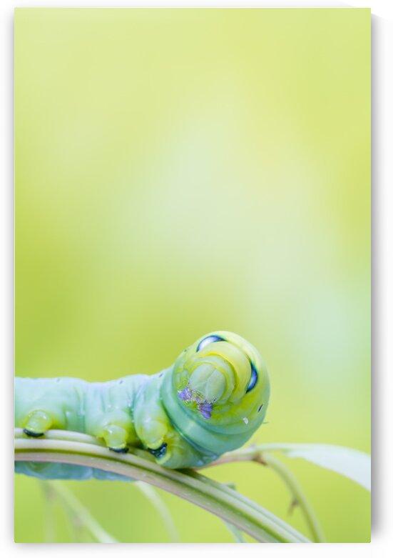 an Daphnis Nerii by Marcel Derweduwen