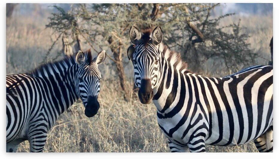 Zebras by Andrew Chambers