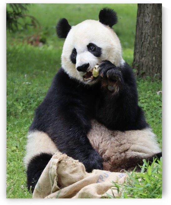 Panda by Andrew Chambers