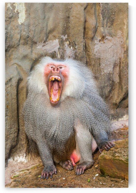 Hamadryas baboon by Marcel Derweduwen