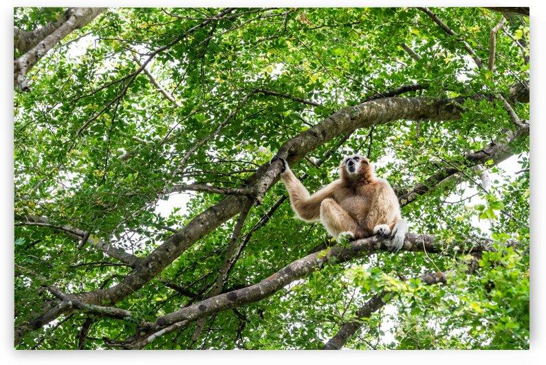 Northern white cheeked gibbon by Marcel Derweduwen