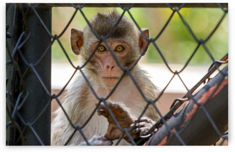 Monkeys of Thailand by Marcel Derweduwen