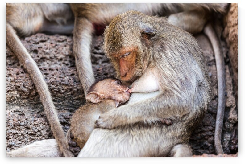 An mother and baby Macaque by Marcel Derweduwen