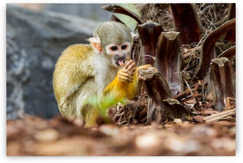 An Squirrel monkey by Marcel Derweduwen