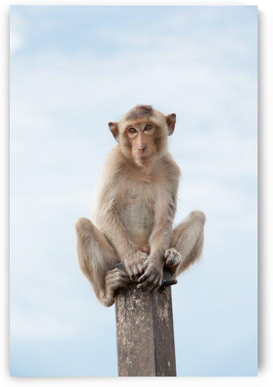 An Macaque on a pole by Marcel Derweduwen