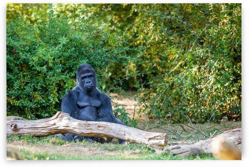 The silverback gorilla by Marcel Derweduwen