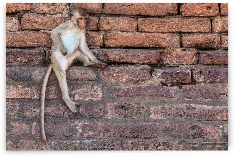 An Macaque by Marcel Derweduwen
