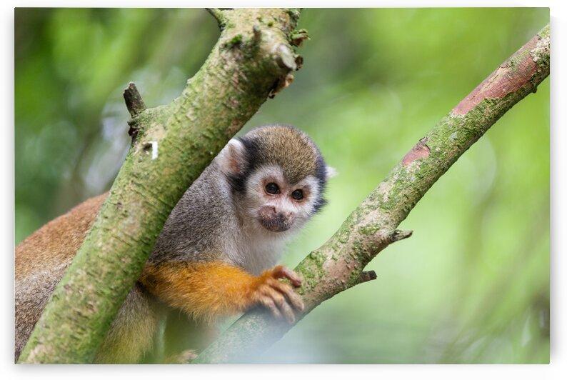 Squirrel monkey by Marcel Derweduwen