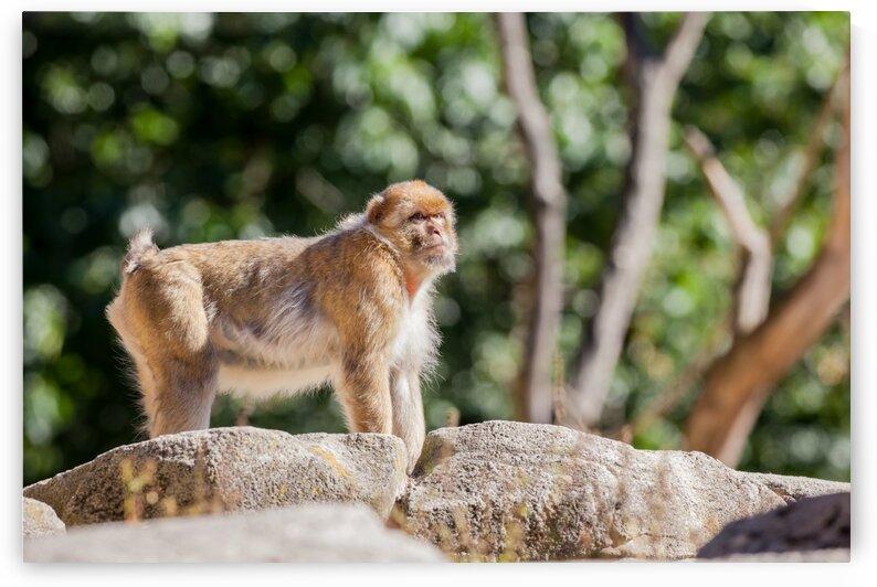 The mountain monkey by Marcel Derweduwen