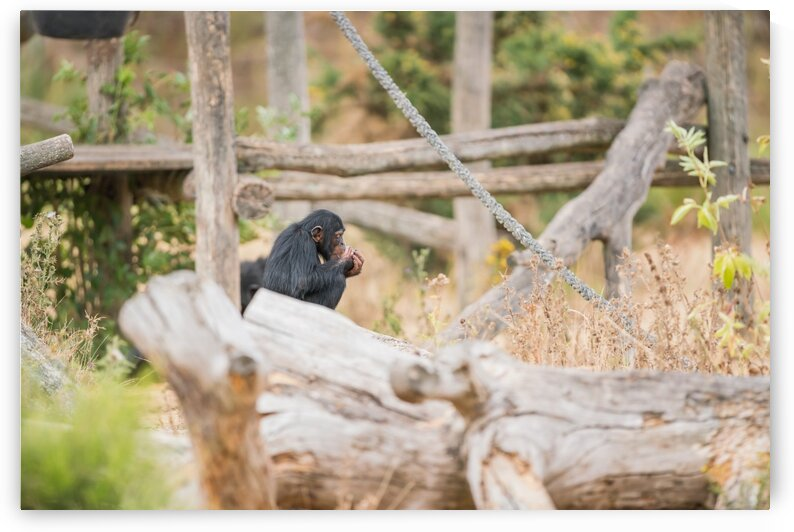 Common chimpanzee with ice by Marcel Derweduwen