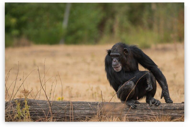 An Common chimpanzee by Marcel Derweduwen