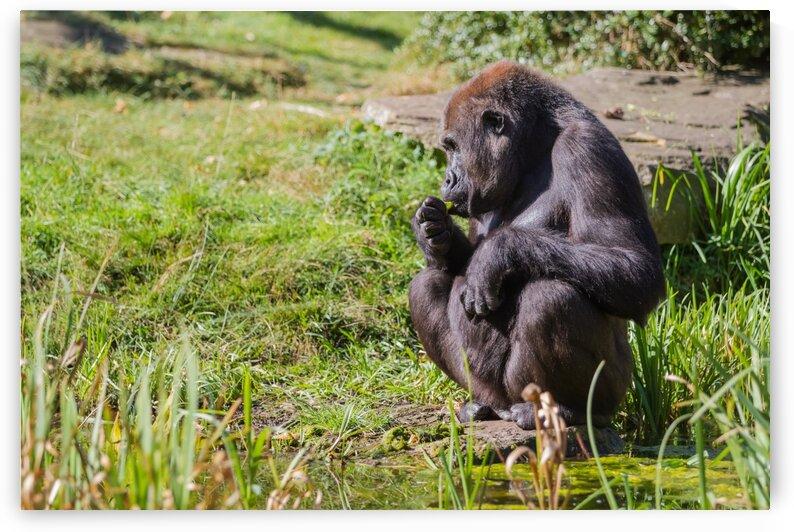 an sitting gorilla by Marcel Derweduwen