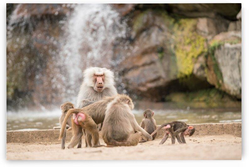 An male baboon by Marcel Derweduwen