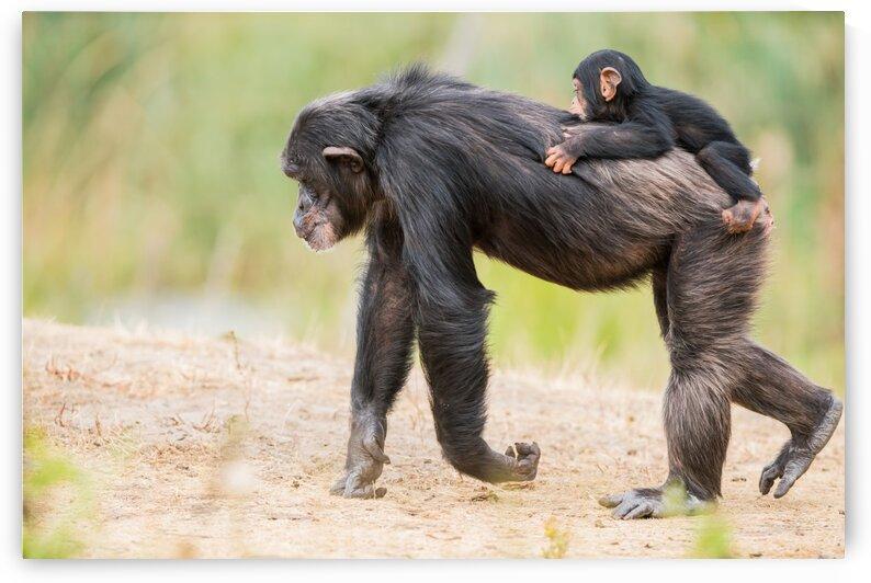 Common chimpanzee with baby by Marcel Derweduwen