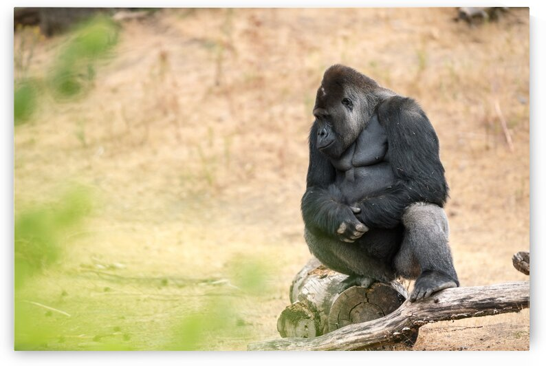 Male gorilla silverback by Marcel Derweduwen
