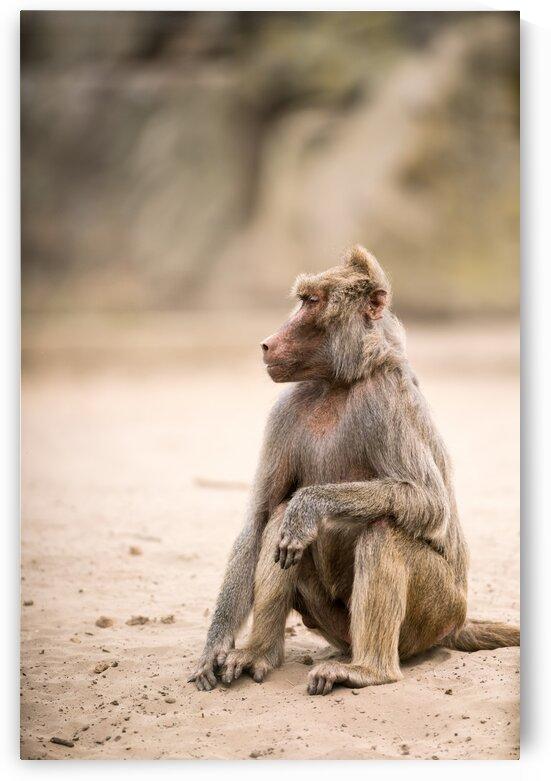 an Beautiful baboon by Marcel Derweduwen