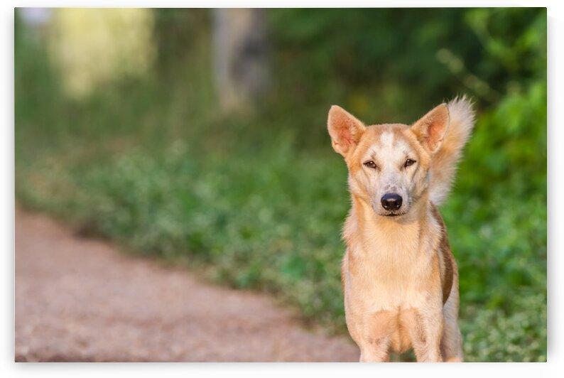 Streetdog by Marcel Derweduwen