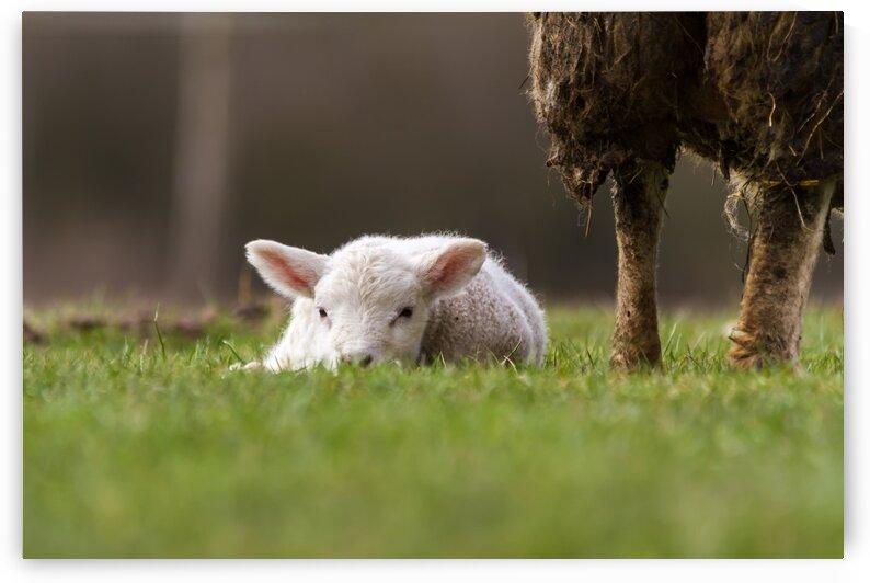 An lamb by Marcel Derweduwen