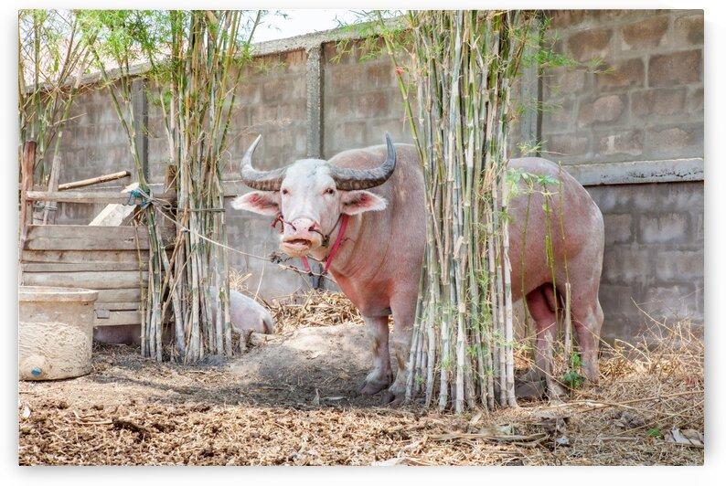 The albino buffalo by Marcel Derweduwen
