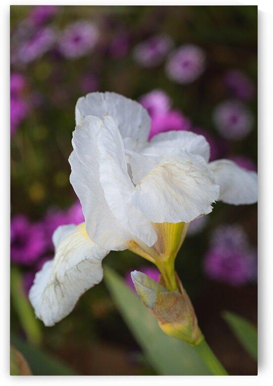 Small White Iris Flower by Joy Watson