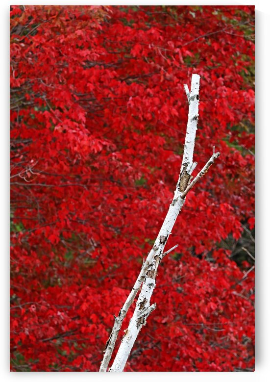 Red And White In Autumn by Deb Oppermann