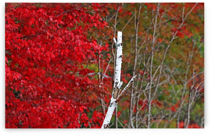 Autumn Red And White With Woodpecker by Deb Oppermann
