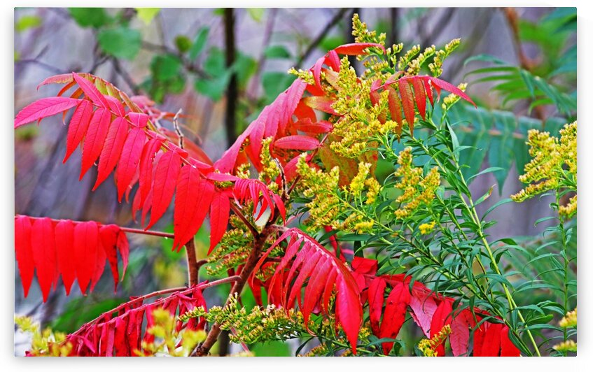 Red Sumac And Yellow Goldenrod by Deb Oppermann
