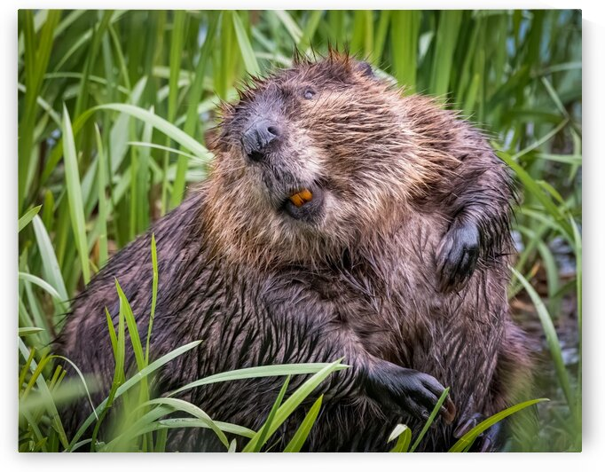 Beaver Smile by Rino Falvo Photography