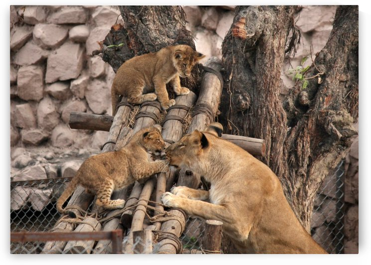 Lioness baby in Lucknow Zoo (1) by azam husain