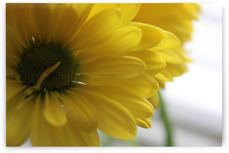 Darling Daisys by Neene Gallery