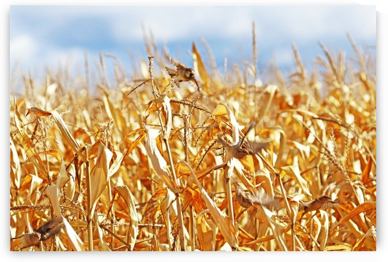 Startled House Sparrows In Corn Field by Deb Oppermann