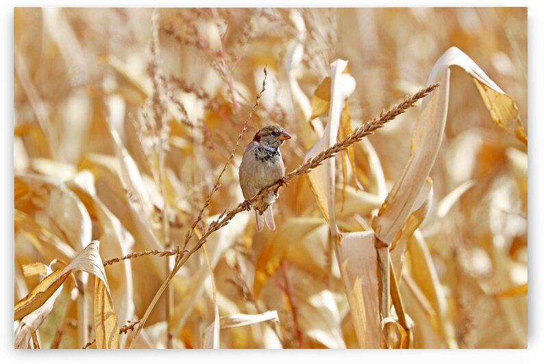 Male House  SparrowPerched On Corn Stalk by Deb Oppermann