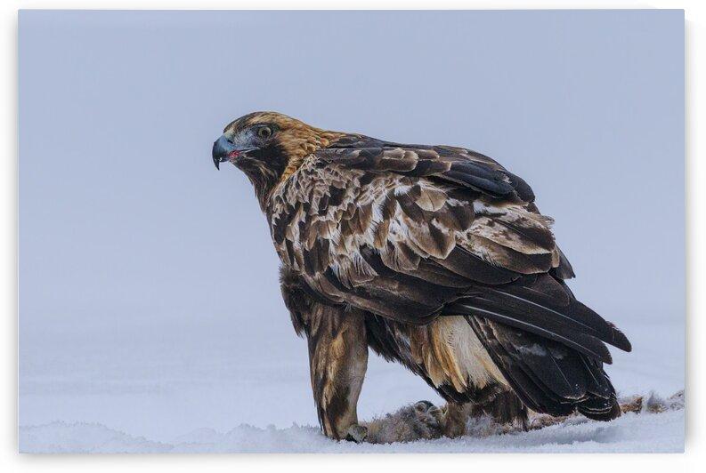Golden Eagle by Vladimir Koss