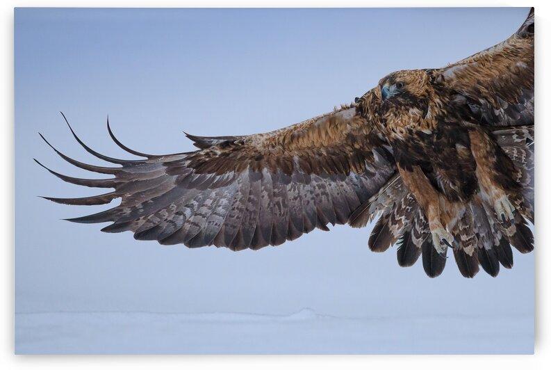 Golden Eagle Flight by Vladimir Koss