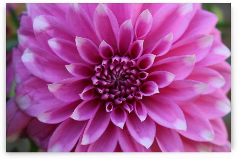 Pink Big Home Garden Flower by Jerrys Studio