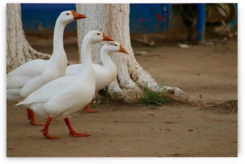 Beautiful Ducks in Park by Jerrys Studio