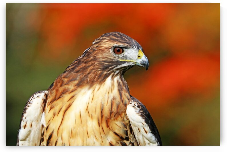 Red Tailed Hawk Profile by Deb Oppermann