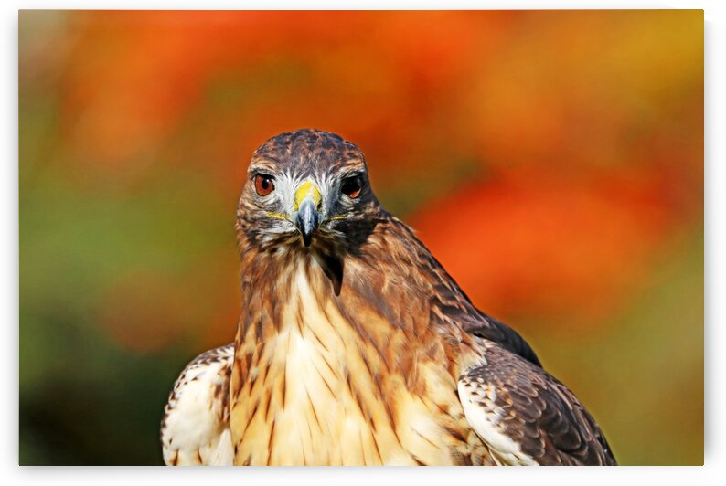 Red Tailed Hawk Stare by Deb Oppermann