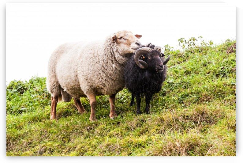 White and black sheep by Marcel Derweduwen