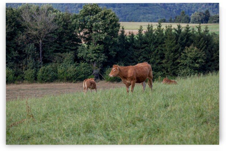 Cow in the field by Marcel Derweduwen