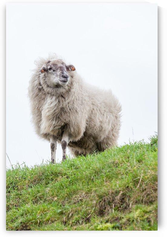 White sheep by Marcel Derweduwen